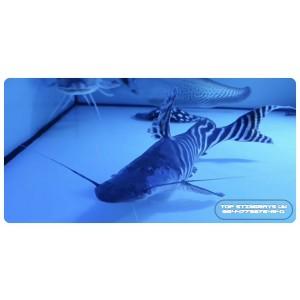 Tigrinus Catfish
